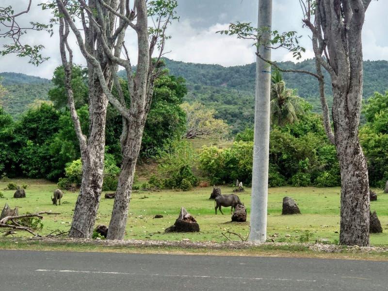 Buffalo selvagge di vita fotografia stock