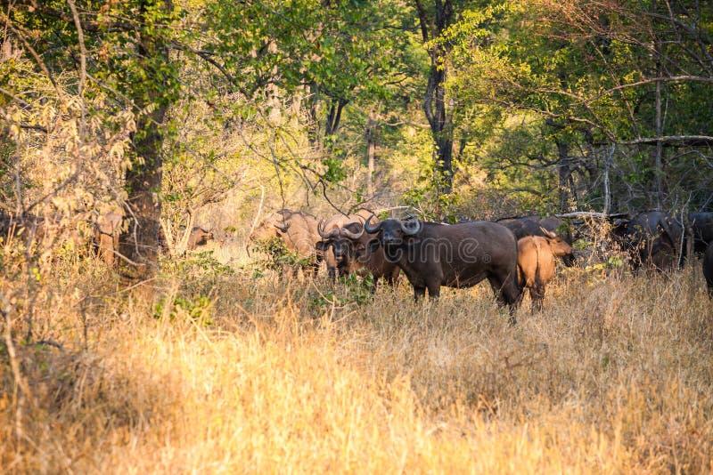 Buffalo selvaggia fotografie stock