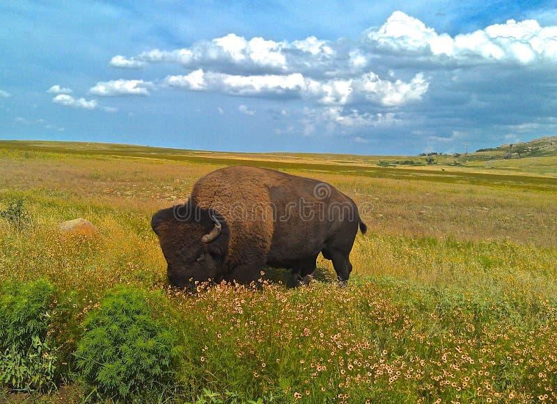 Buffalo solitaire image libre de droits