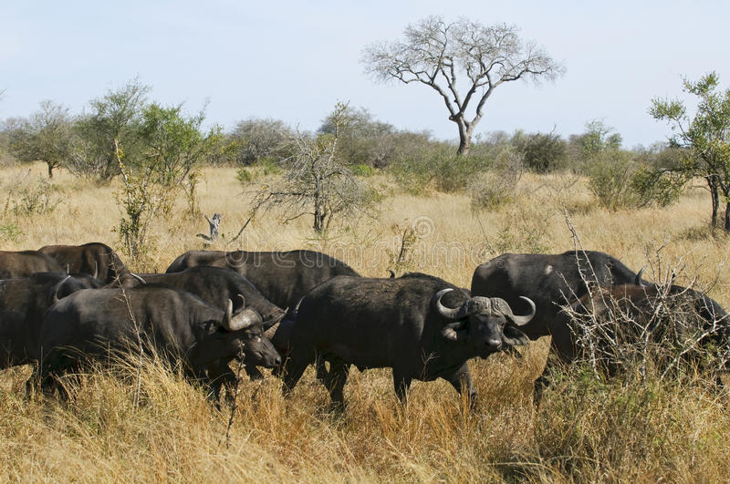 Buffalo in South Africa royalty free stock images