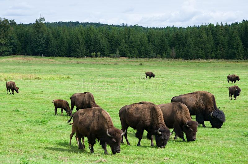 Buffalo in the southern Bohemia royalty free stock photo