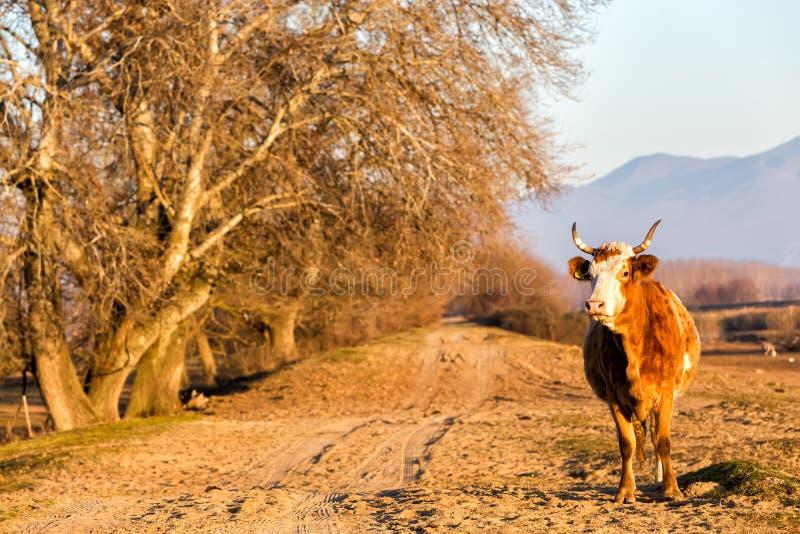 Buffalo standing at the road near Kerkini Lake in Greece royalty free stock photos
