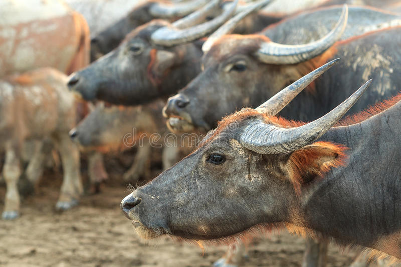 Buffalo su field1 immagine stock libera da diritti
