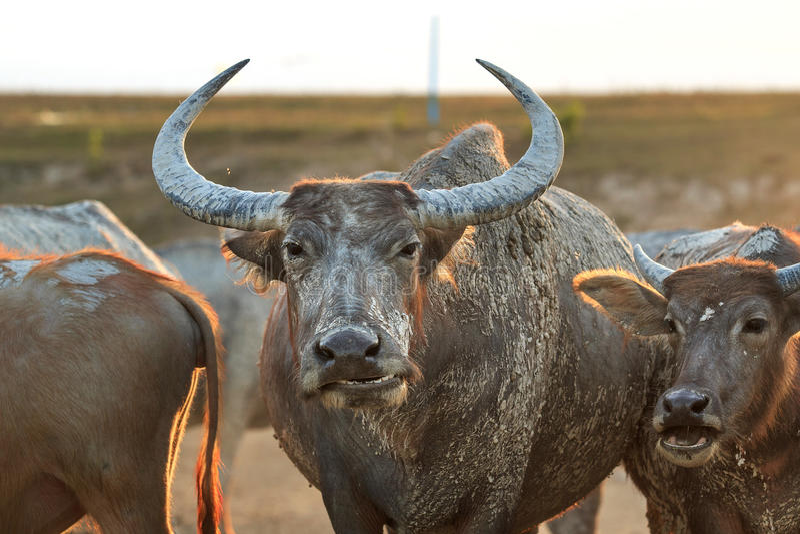 Buffalo su field4 fotografie stock libere da diritti