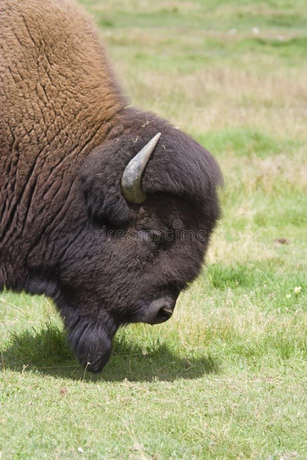 Buffalo su un prato immagini stock