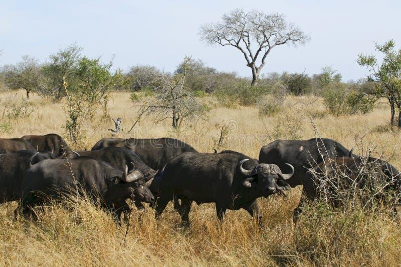 Buffalo in Sudafrica immagini stock libere da diritti