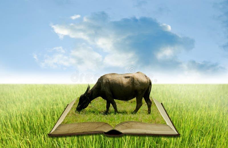 Buffalo sul libro aperto al giacimento del riso, conoscenza di agricoltura immagini stock libere da diritti