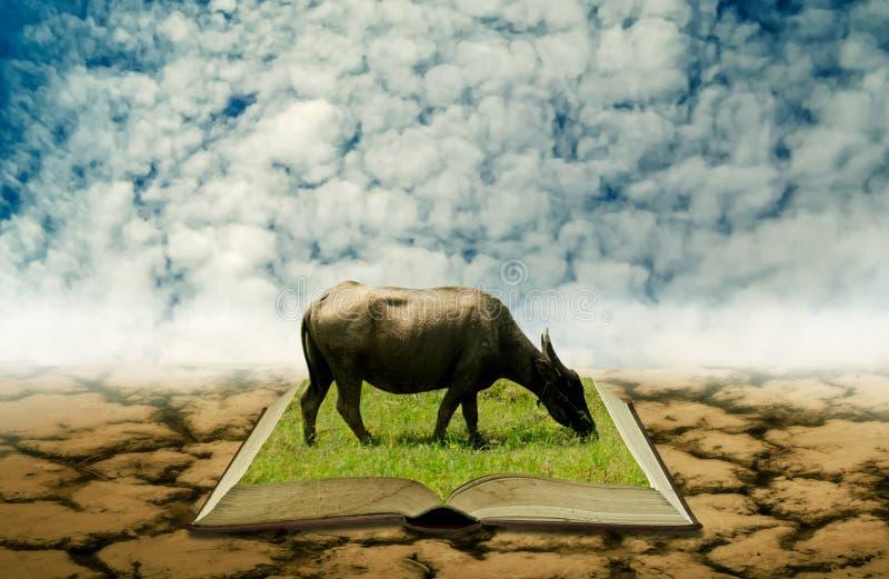 Buffalo sul libro aperto a terra asciutta, conoscenza di agricoltura fotografia stock libera da diritti