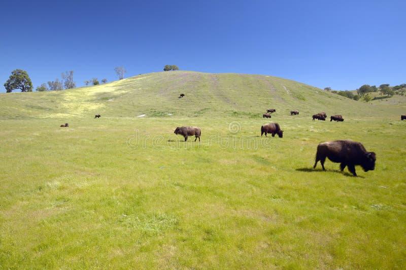 Buffalo sulla gamma fuori dall'itinerario 58 ad ovest di Bakersfield, CA fotografia stock libera da diritti