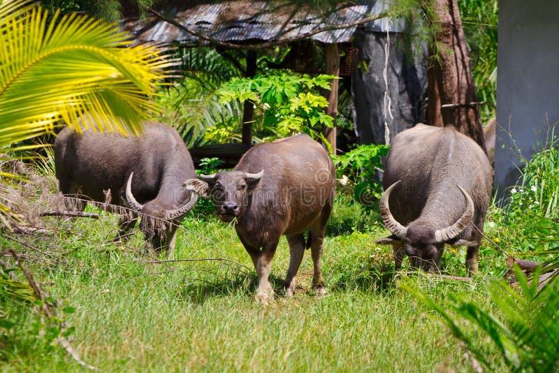 Buffalo Sur L île De Kho Khao De KOH Image stock