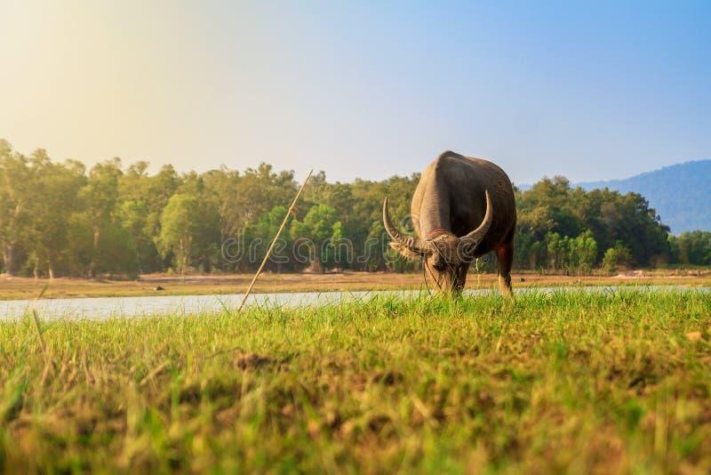 Buffalo Thaïlande photo stock