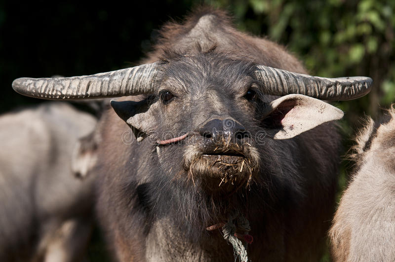 Download Buffalo Thai stock image. Image of heavy, tropical, bovine - 18109677
