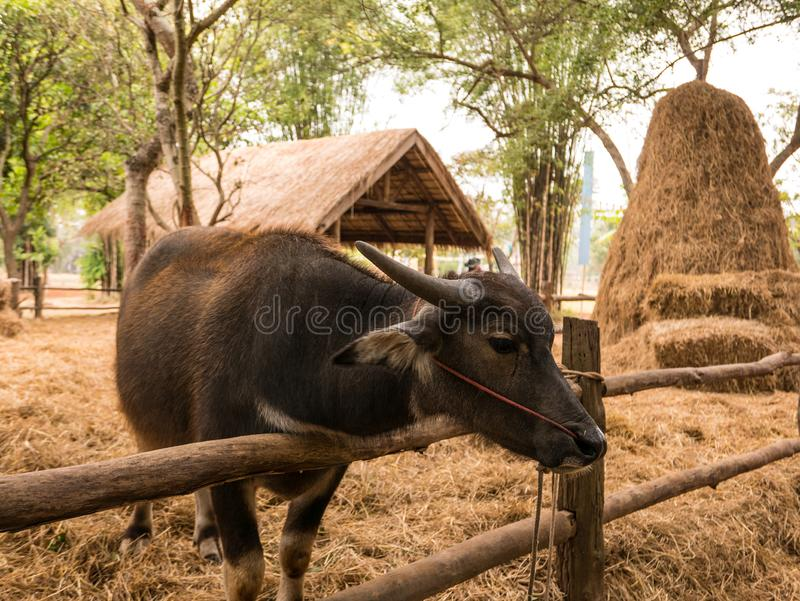 Buffalo in Thailand. buffalo is eating the grass stock photography