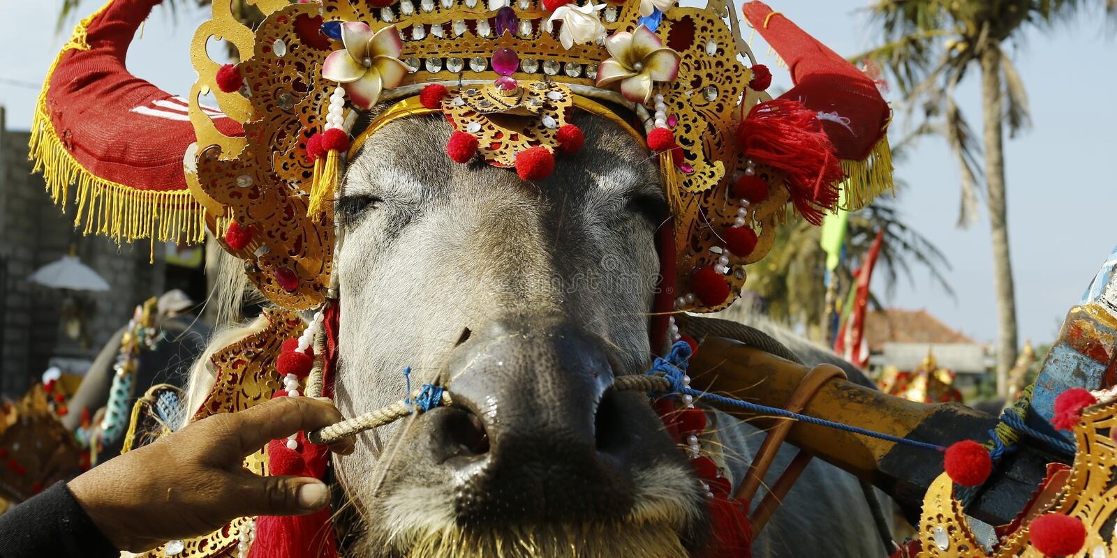 Buffalo with traditional ornament , during buffalo race festival -indonesia. Buffalo with traditional ornament  in bali during buffalo race festival -indonesia royalty free stock image