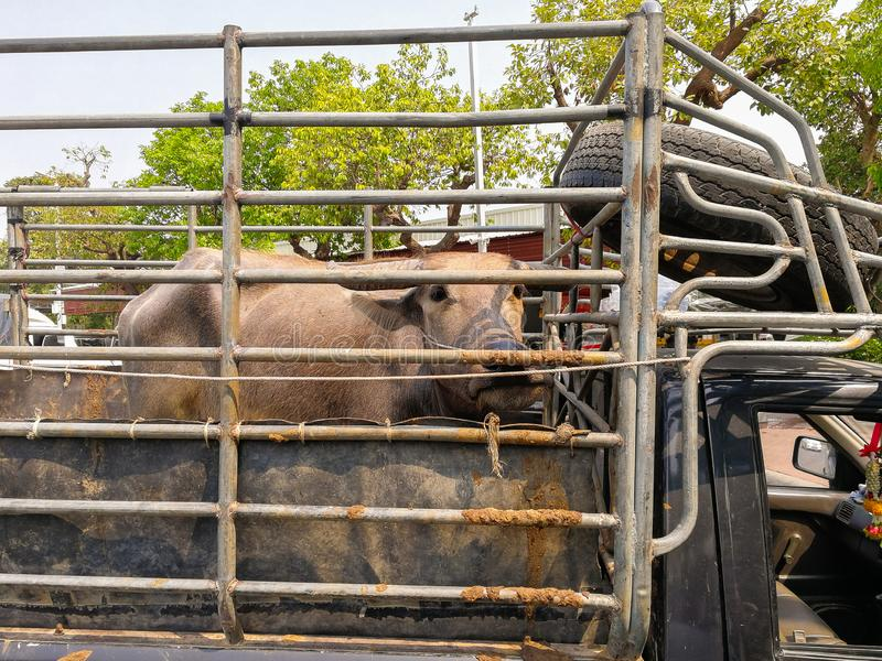 Buffalo on the truck. Buffalo on the truck to transport to market cattle and buffalo royalty free stock photos