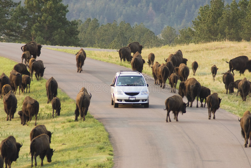 Buffalo viewing 7 stock images