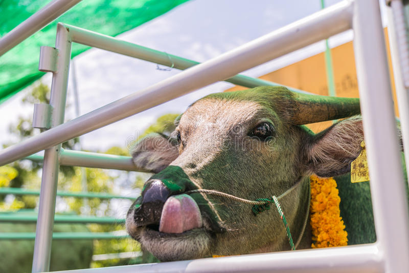 The buffalo was bought from the slaughterhouse waiting to be del stock image