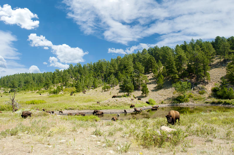 Buffalo at a Watering Hole. A herd of buffalo around a watering hole in Custer State Park royalty free stock photo
