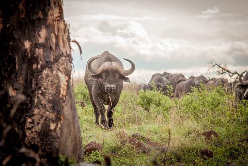 Buffalo in the Wild in Kwa Zulu Natal. In Nambiti Game Reserve stock photo