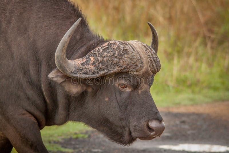 Buffalo in the Wild in Kwa Zulu Natal. Nambiti Game Reserve royalty free stock image