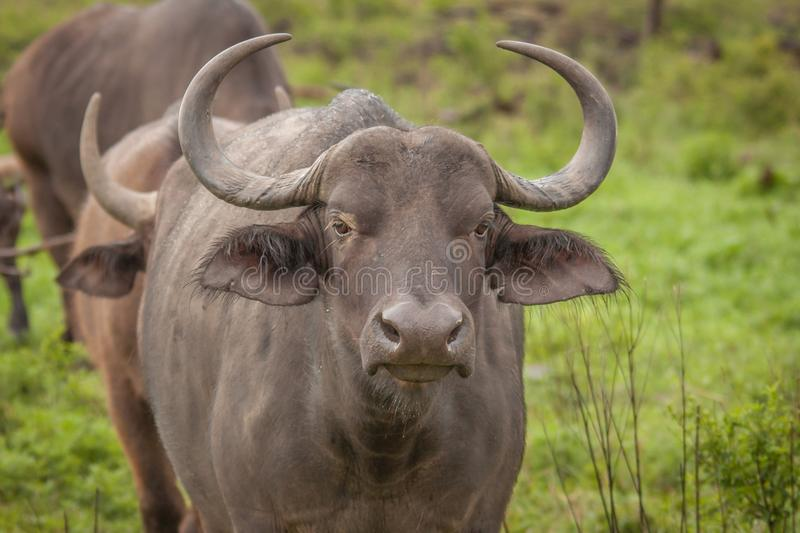 Buffalo in the Wild in Kwa Zulu Natal. Nambiti Game Reserve royalty free stock images