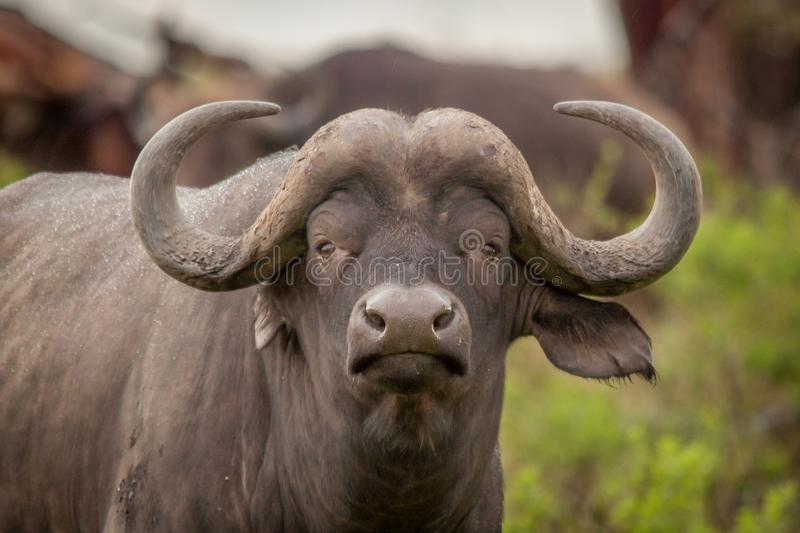 Buffalo in the Wild in Kwa Zulu Natal. In Nambiti Game Reserve royalty free stock images