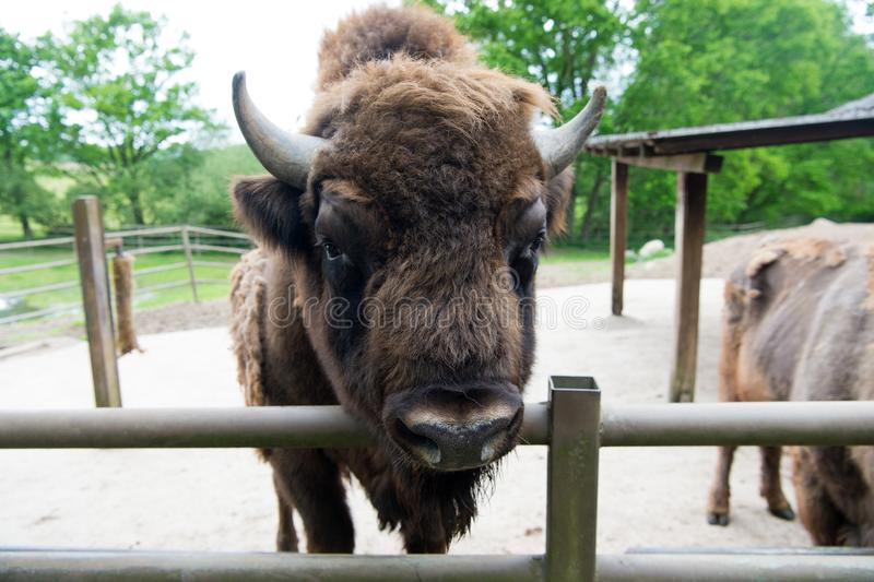 Buffalo wildlife. Head with horns. Buffalo bull concept. Animal bull in zoo or shelter. Bull bison closeup. Furry brown. Animal habits in summer outdoor on royalty free stock images