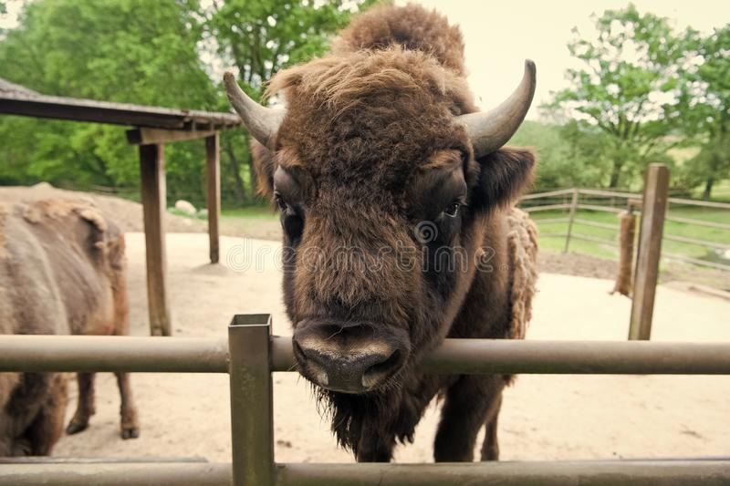 Buffalo wildlife. Head with horns. Buffalo bull concept. Animal bull in zoo or shelter. Bull bison closeup. Furry brown stock image