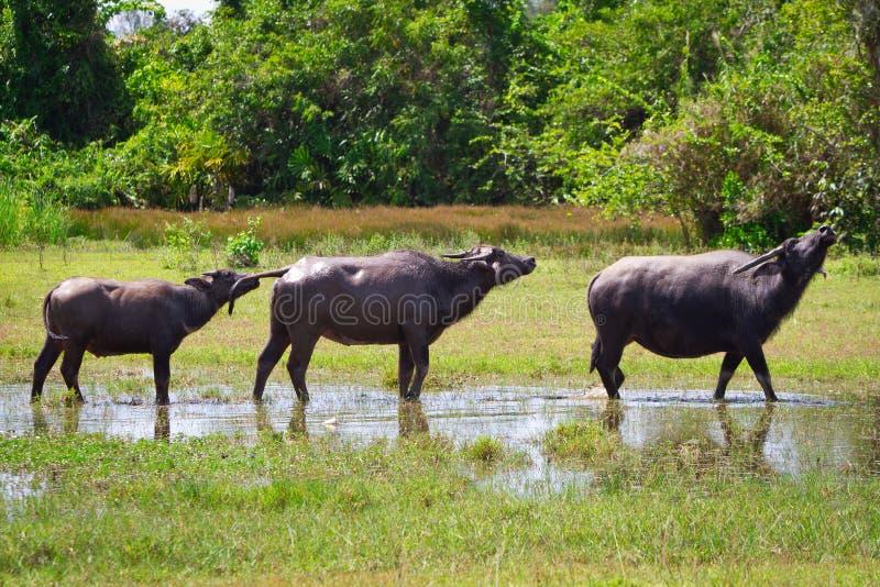 Buffalo in wildlife on Koh Kho Khao stock image