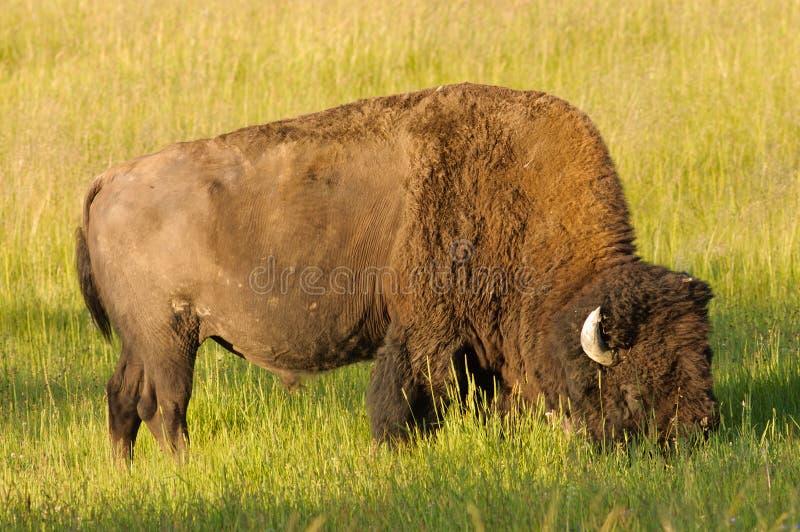 buffalo wypasu fotografia stock