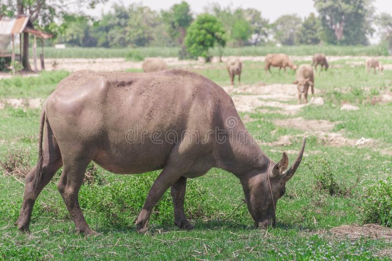 buffaloed 免版税库存照片