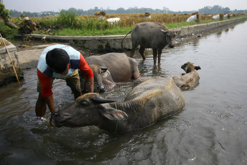 Download Buffaloed 编辑类库存图片. 图片 包括有 敌意, 中央, 浴巾, 印度尼西亚, 农夫, java - 62536624
