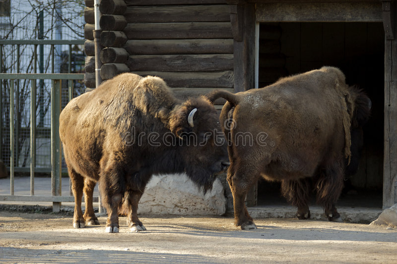 Buffaloes going home stock image
