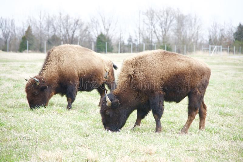 Buffaloes Grazing In A Field. Buffaloes are large, even-toed ungulates in the genus Bison within the subfamily Bovine. There are two extant and four extinct royalty free stock photo