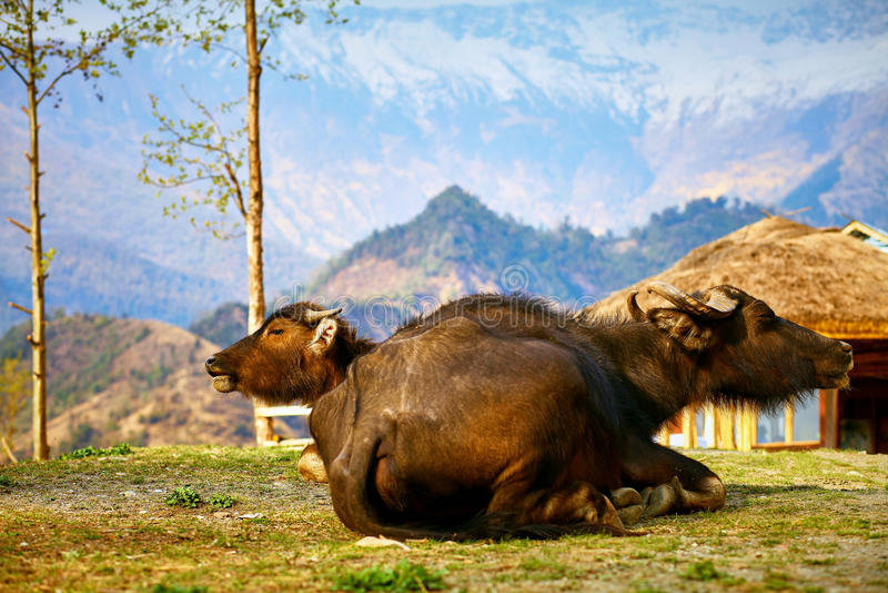 Buffaloes in Nepal. Two resting buffaloes in mountains, Nepal, Himalaya stock photo