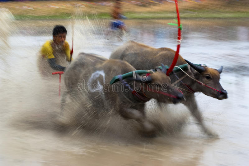 Buffaloes racing stock images