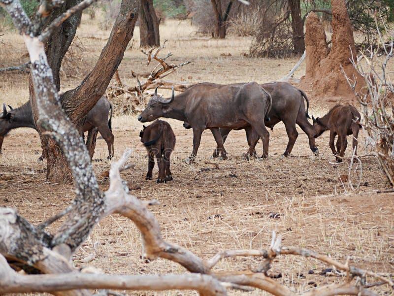 Buffaloese on safari in Tarangiri-Ngorongoro. Buffaloes on safari in Tarangiri-Ngorongoro, safari, savannah, buffaloes in the wild, wildlife, nature around us royalty free stock images