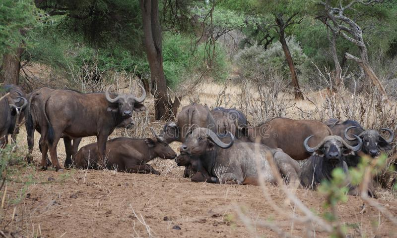 Buffaloese on safari in Tarangiri-Ngorongoro stock photography