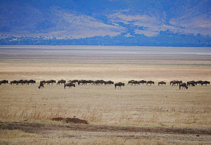 Buffaloese on safari in Tarangiri-Ngorongoro. Buffaloes on safari in Tarangiri-Ngorongoro, safari, savannah, buffaloes in the wild, wildlife, nature around us royalty free stock image