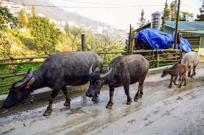 Buffaloes are walking on the small street in urban countryside stock image