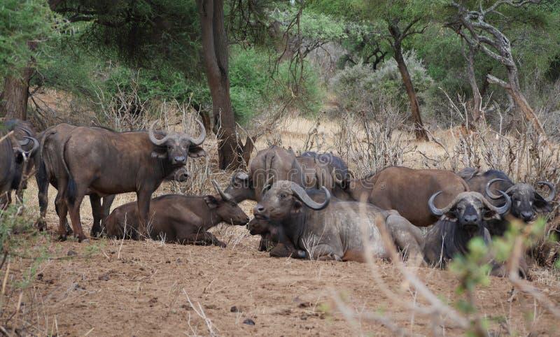 Buffaloese no safari em Tarangiri-Ngorongoro fotografia de stock