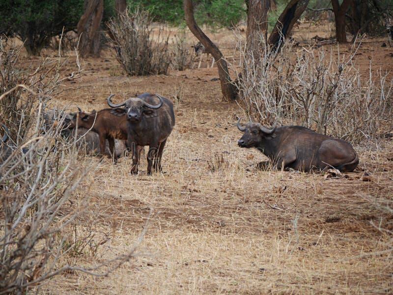 Buffaloese on safari in Tarangiri-Ngorongoro. Buffaloes on safari in Tarangiri-Ngorongoro, safari, savannah, buffaloes in the wild, wildlife, nature around us royalty free stock photos