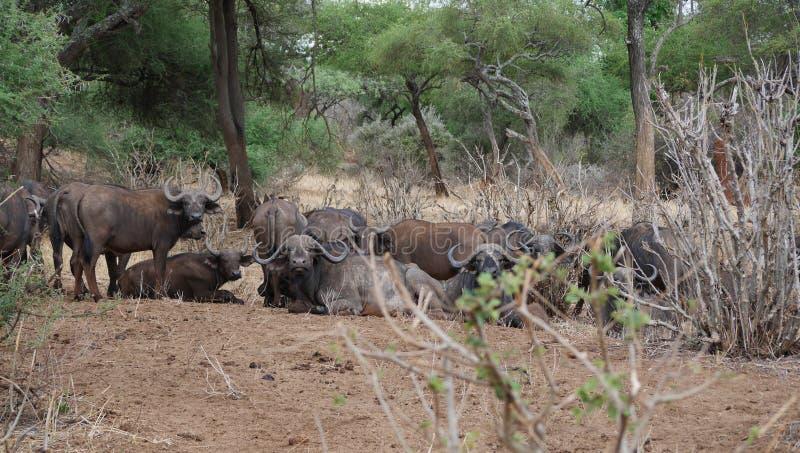 Buffaloese on safari in Tarangiri-Ngorongoro. Buffaloes on safari in Tarangiri-Ngorongoro, safari, savannah, buffaloes in the wild, wildlife, nature around us stock image