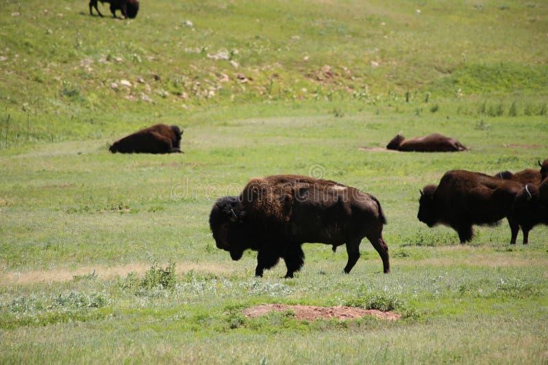 Buffaloroam arkivfoton