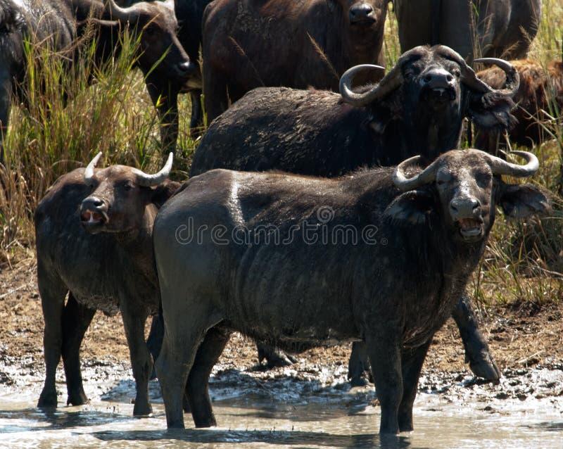 Buffalos.