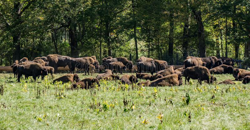 Buffalo Farm. Buffalos in a field of a buffalo farm located Craig County, Virginia, USA. The farm raised bison for human consumption stock photography