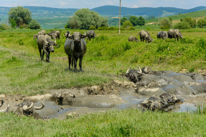 Buffalos in the mud from Bazna village, Sibiu county, Transylvania, Romania. This buffalos are touristic attractions because they are not very much places in the royalty free stock image