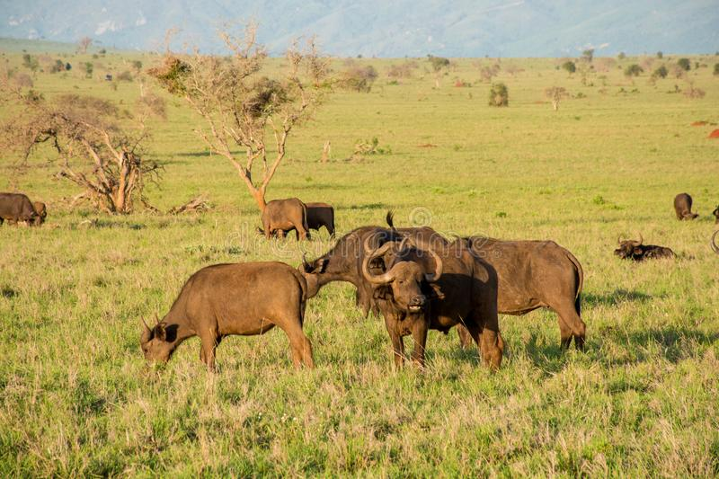 Buffalos in Tsavo west national park in Kenya. Kenya safari. royalty free stock photo