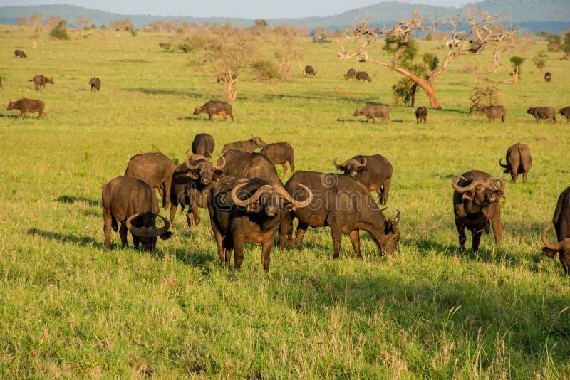 Buffalos in Tsavo west national park in Kenya. Kenya safari. royalty free stock images