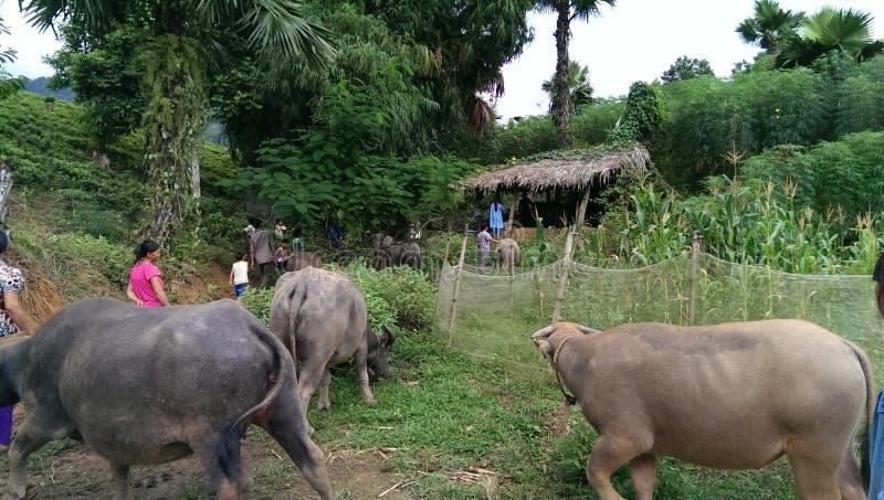 Buffalow in Vietnam royalty-vrije stock fotografie